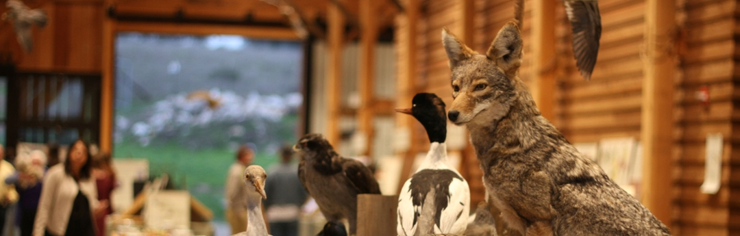 Stuffed Coyotes and birds in the UCSC barn from a previous event