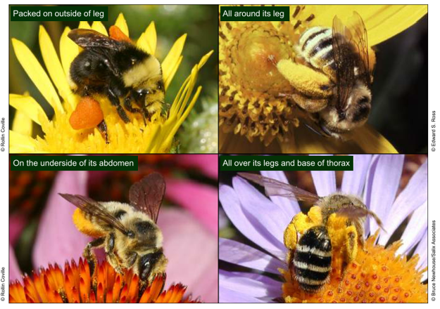 Bumblebees with pollen on thighs, abdomen an face.