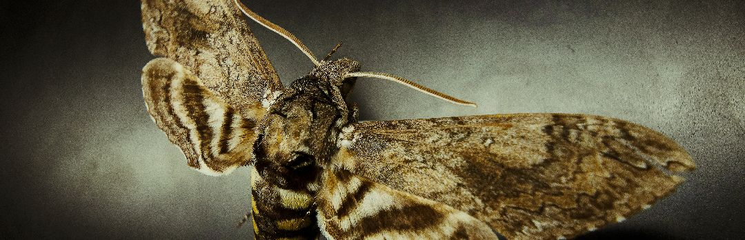 Moth photographed by Saul Villegas